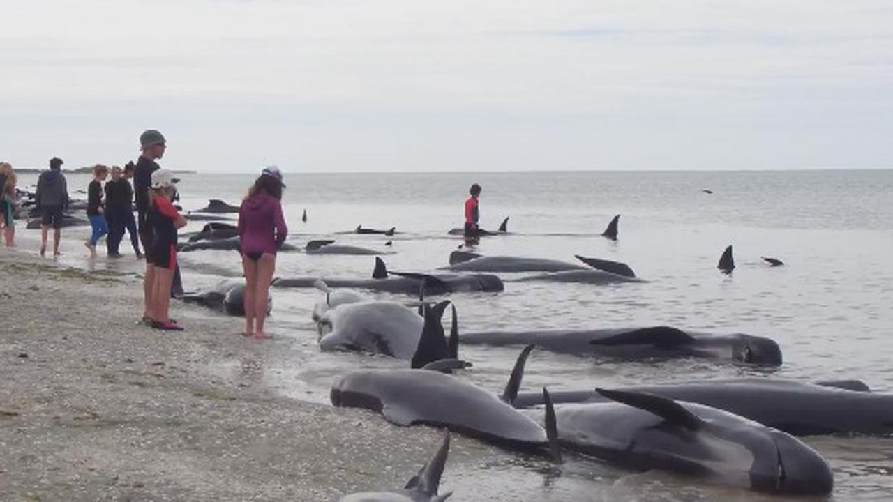 Volunteers Try To Rescue Whales From A Massive Beaching