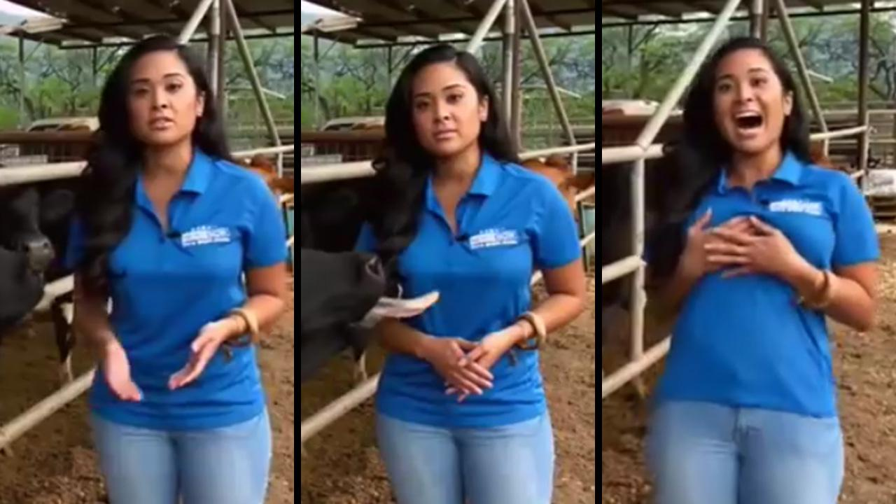 Confident Cow Doesn'T Hesitate To Lick Attractive Reporter'S Chest