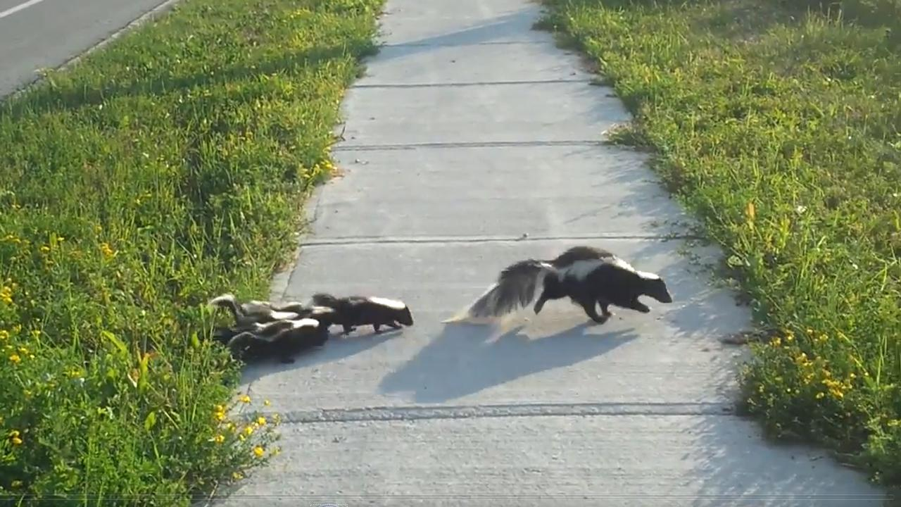 Helpful Human Helps Abandoned Baby Skunk Cross The Road