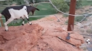 Dumbass Scares A Goat Off A Cliff