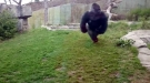 This Gorilla Got Close To Killing That Whole Human Family