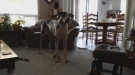 Great Dane Wants To Go Outside And Play Now, Not Later