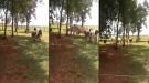 Goat Picks A Fight With An Angry Cow