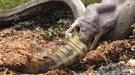 Massive Snake Devours A Crocodile Whole