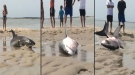 Beached Great White Nearly Dies But Gets Rescued At The Last Minute