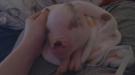 Sleepy Pig Just Wants A Nap