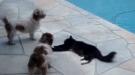 Cat Vs 2 Dogs
