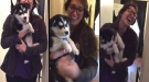 Someone Taught This Husky Puppy To Say Too Much