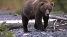 Young Grizzly Succumbs To A Heart Attack