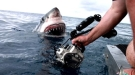 A Mouthful Of Hello From A Great White Shark