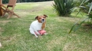 This Jack Russell Is Having Too Much Fun With His Pig