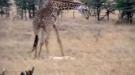 Giraffe Vs Lion, And The Giraffe Wins