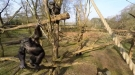 High Tech Drone Vs A Chimp With A Stick