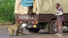Shady Snack-Stealing Baboons