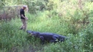 Just A Stroll With A Gator
