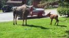 Moose Love Sprinklers