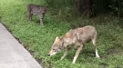 Afternoon Bike Ride Interrupted By Sly Bobcat Trying To Murder Cowardly Coyote