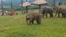 Little Elephant Gets Frustrated Chasing A Dog