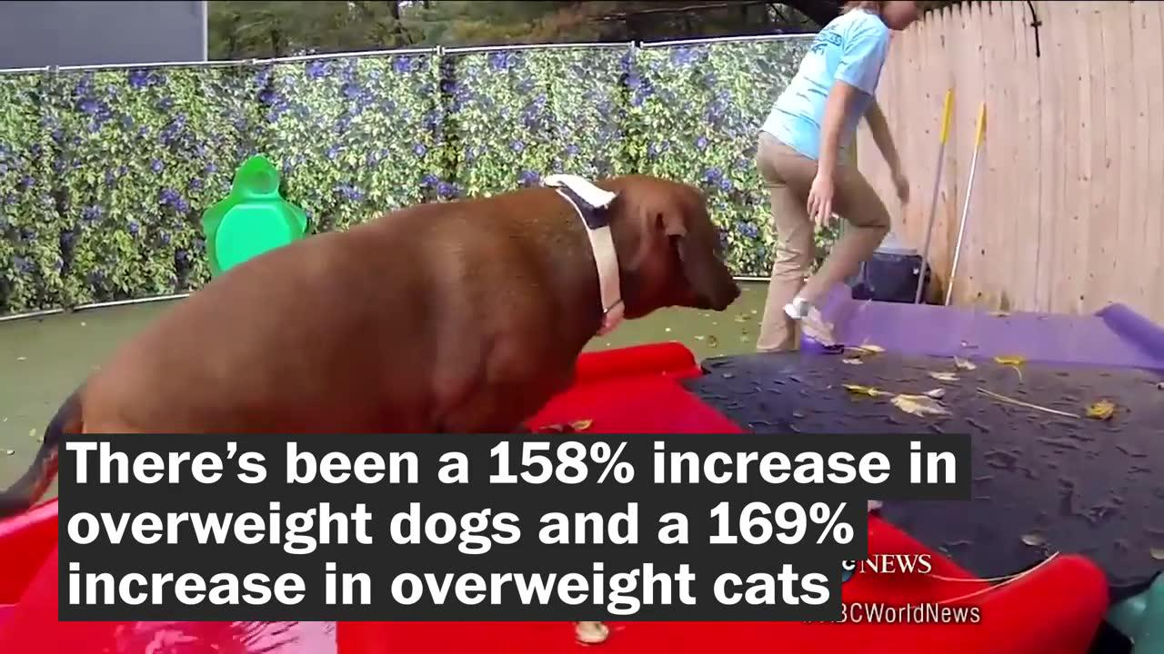 Which states have the fattest pets?