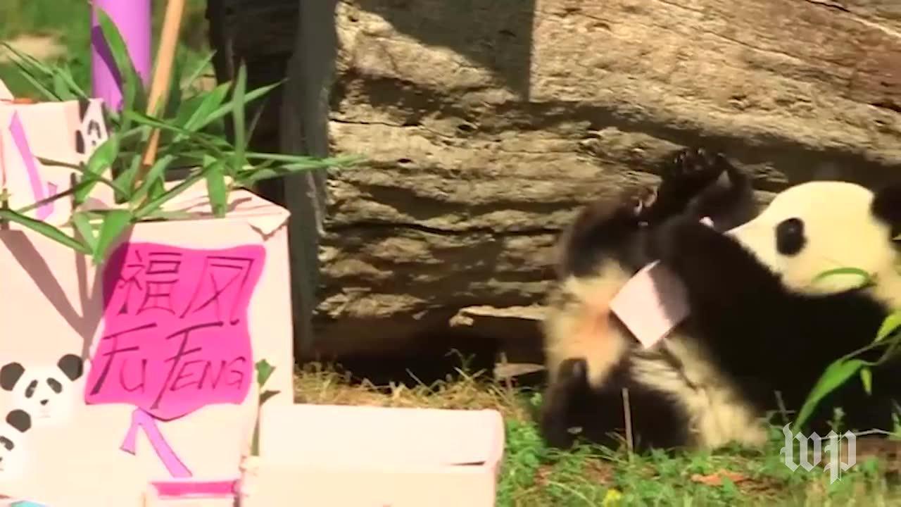 Twin Pandas Open Presents
